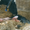 Post Calving Management