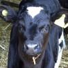 Calf Weaning