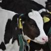 Black & White Bull Calves Farming Note