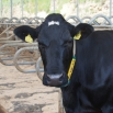 Cubicles – what do cows want?