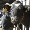 What are your Cows telling you about their Ration?