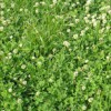 White Clover - the Benefits