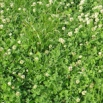 White Clover  - How to Establish
