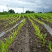 Options for a Poor Growing Maize Crop Farming Note