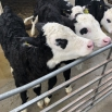 Maximising the Value of Every Calf