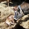 Colostrum Management Farming Note