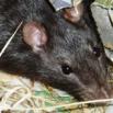 Rat Control Farming Note