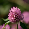 Trial Update: Red Clover Monocultures