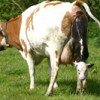Homeopathy for Dairy Cows Farming Note