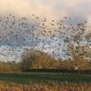 Starling Control Report