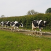 Lameness & Behaviour in Dairy Cows
