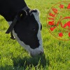 Grass Seed 'Tried and Tested' by dairy cows