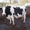 Cull Cow Options Farming Note