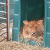 Calf Housing Farming Note