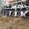 Feeding Replacement Heifers Farming Note