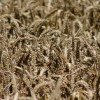 Importance of Starch in the Diet Farming Note