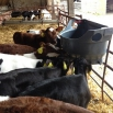 Calf Management Farming Note