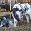 Calf Housing Farming Note