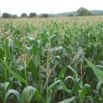 Catch Crop After Maize