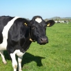 High Yielding Cows - Effective Spring Rations Farming Note