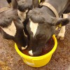 Trace Minerals for Dairy Cows Farming Note