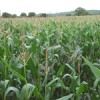 Survey shows better maize seed choice could pay