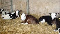 Calf Pneumonia
