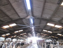 Cow Shed Ventilation
