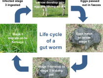 Gut worm life cycle
