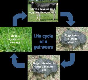 Gut worm life cycle
