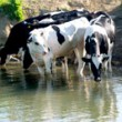 Heifers-riverbank-14--drinking