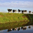 Heifers on riverbank