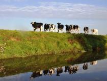 Heifers on riverbank