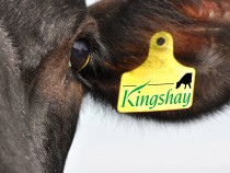 Kingshay Cow Sm