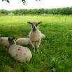 lambs in paddock (8)