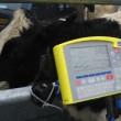 rearing heifers