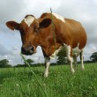 Cows require vitamins for all bodily functions